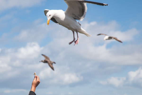 A hand reaches up to feed a Seagull during a San Francisco Vacation photography shoot on Fisherman's Wharf in San Francisco, CA